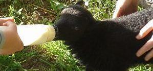 Petit agneau élevé au biberon