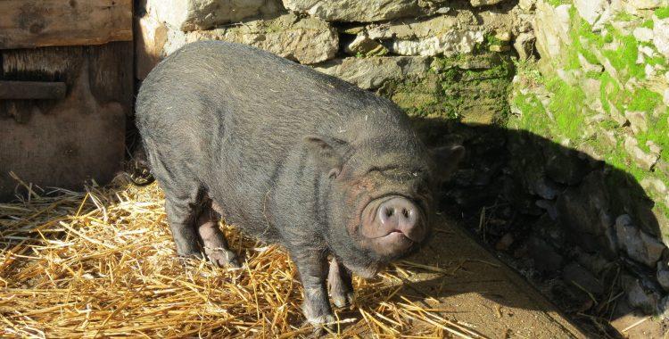 Cochon lézardant au soleil de janvier