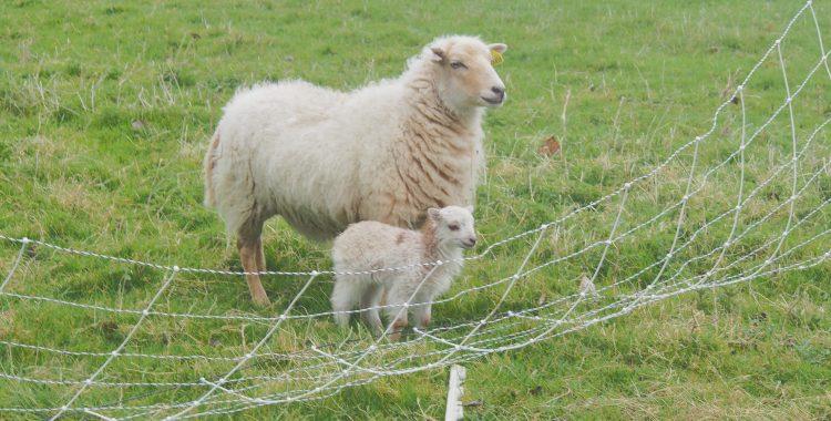 Photo n°15 - Doux comme un agneau